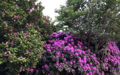 Derfor skal du plante klatretræer nu i juni