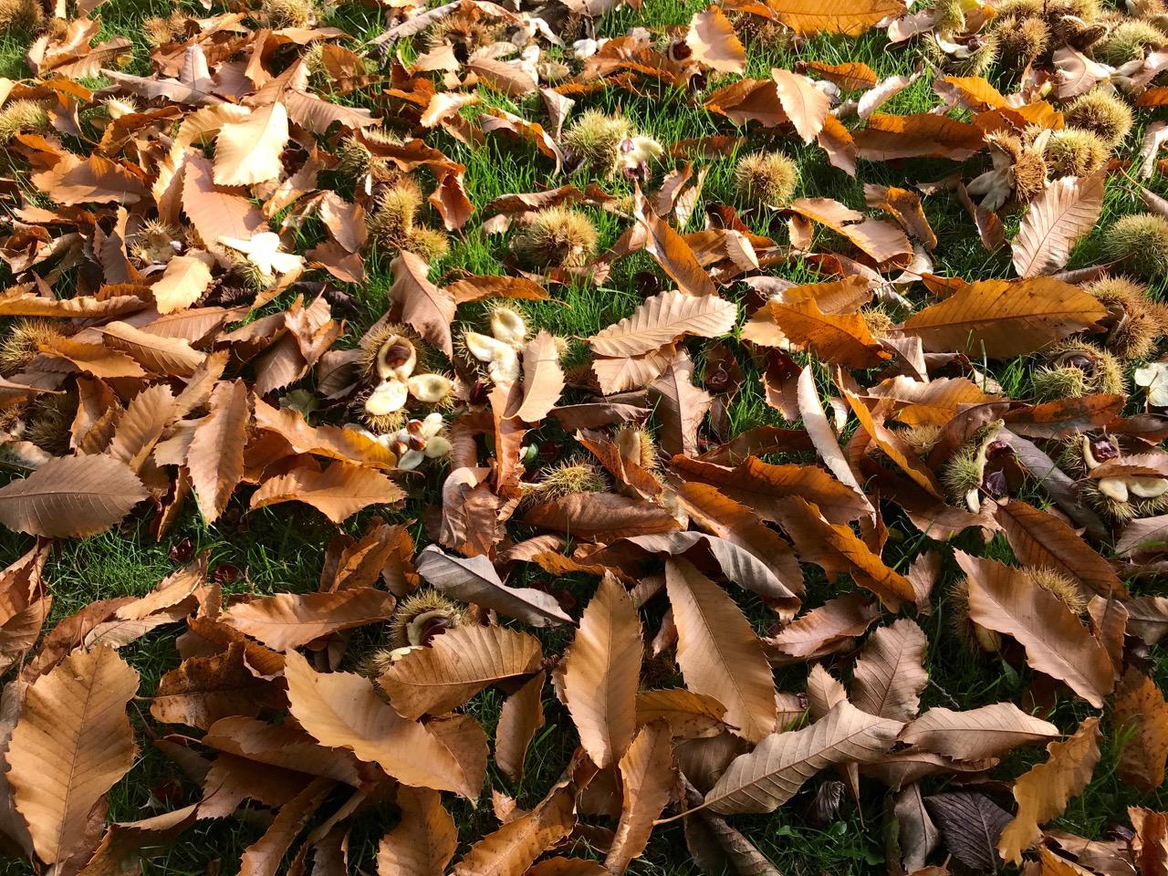 I øvrigt giver det smukke træ med spisekastanjer næsten intet brugbart fra sig i år. Masser af alt for små kastanjer. Masser af blade. Men valnøddetræet giver bedre end nogensinde før.