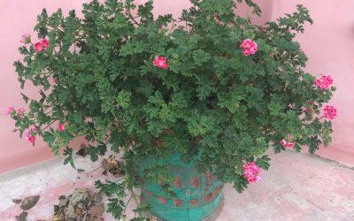 Tag sarte planter ind nu, de tåler ikke frosten – uge 43 i haven og på altanen