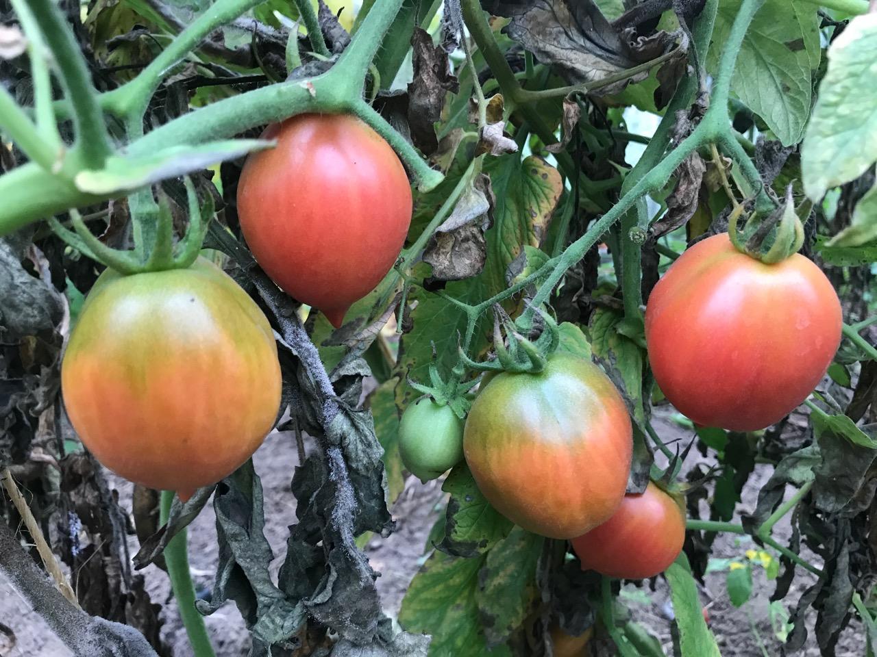 Sene røde tomater