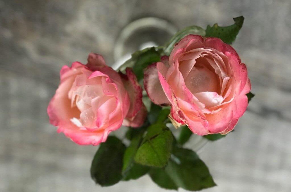 November er den bedste tid at plante roser