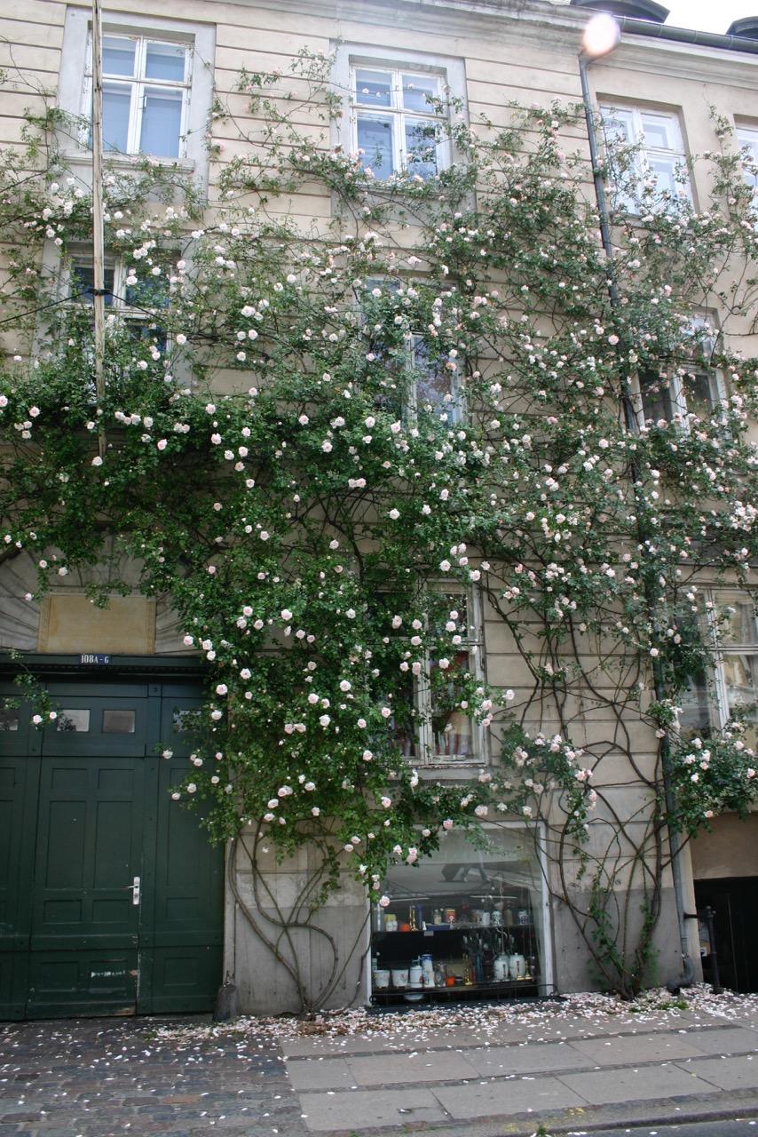 Niels Kongshaug er manden bag den smukke rosenvæg i Store Kongensgade, der viser os, at man ikke behøver at have en have for at dyrke roser til glæde for mange.